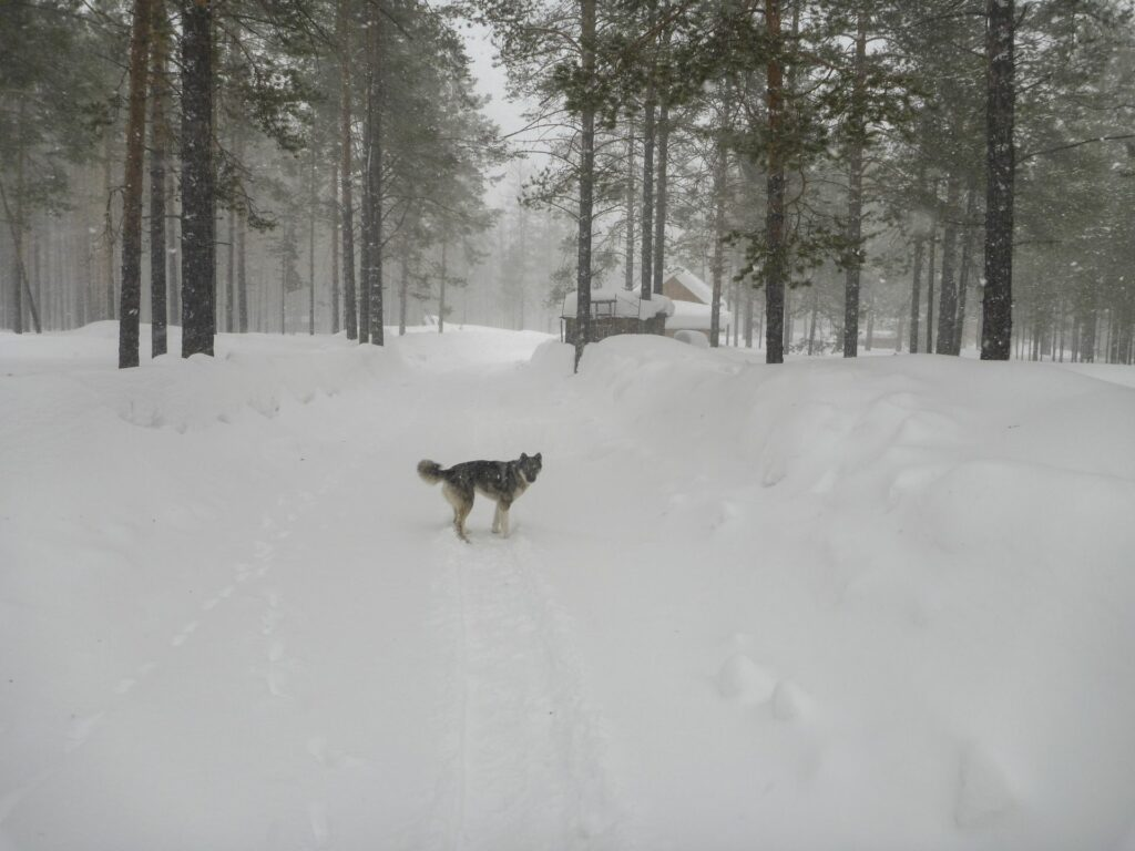 snowfall and husky dog on the road at Zotto