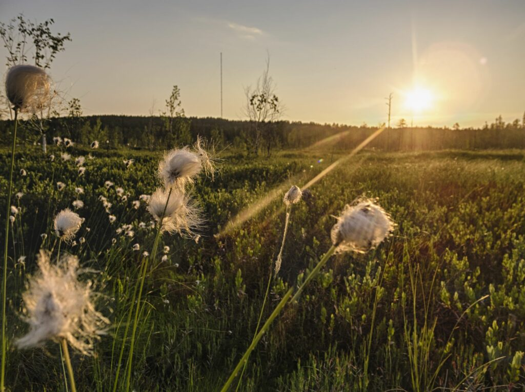 cotton in front of a grat sunset in the siberian taiga around Zotino