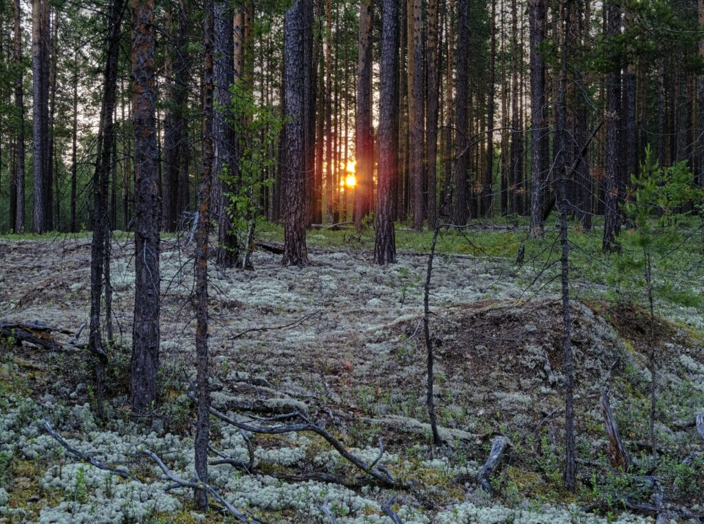 sunset in the Siberian Taiga in a coniferous forest full of mosses near Zotino