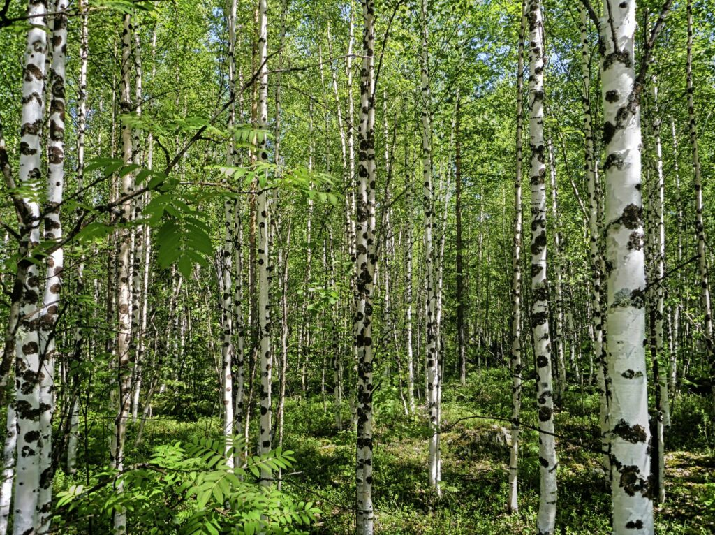 siberian forest of young birches in spring