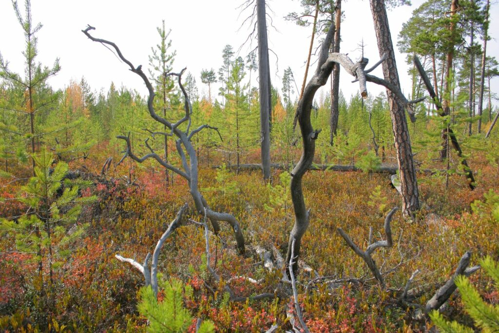 dead wood and little trees in autumn