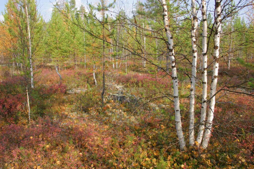 birch quadruplet in a young forest in the siberian Taiga in autumn