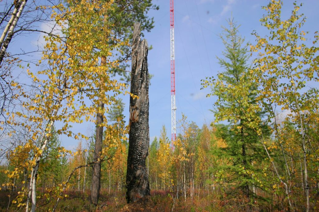 young forest around tower with burned dead tree in autumn