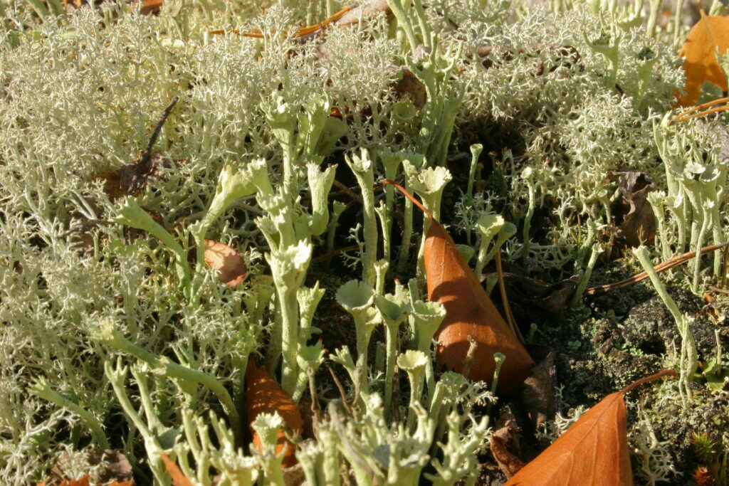close up trumpet lichen in SIberia