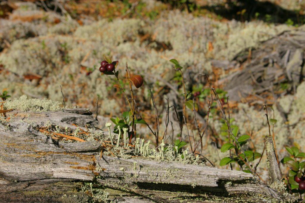 berriers in the Siberian Taiga near ZOTTO