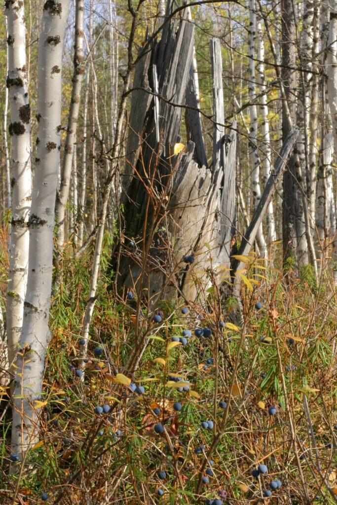 tree stump near ZOTTO