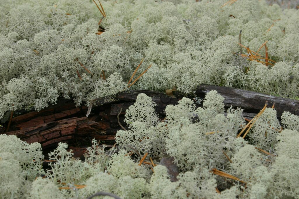 lichens near ZOTTO