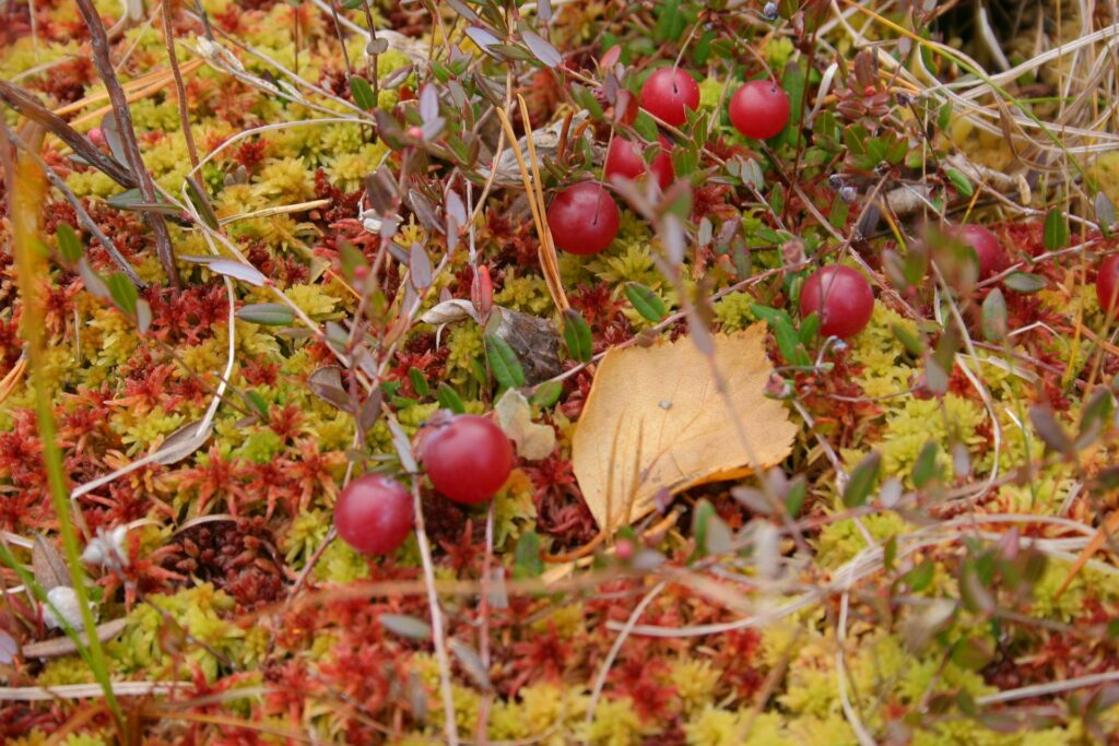 berries and moss near ZOTTO
