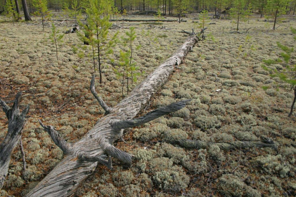 dead tree on the lichens coverd groundin the siberian Taiga