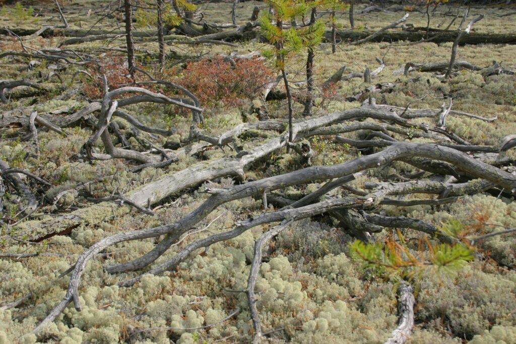 lots of deadtrees on the grouns with lichens an berries in the siberian taiga