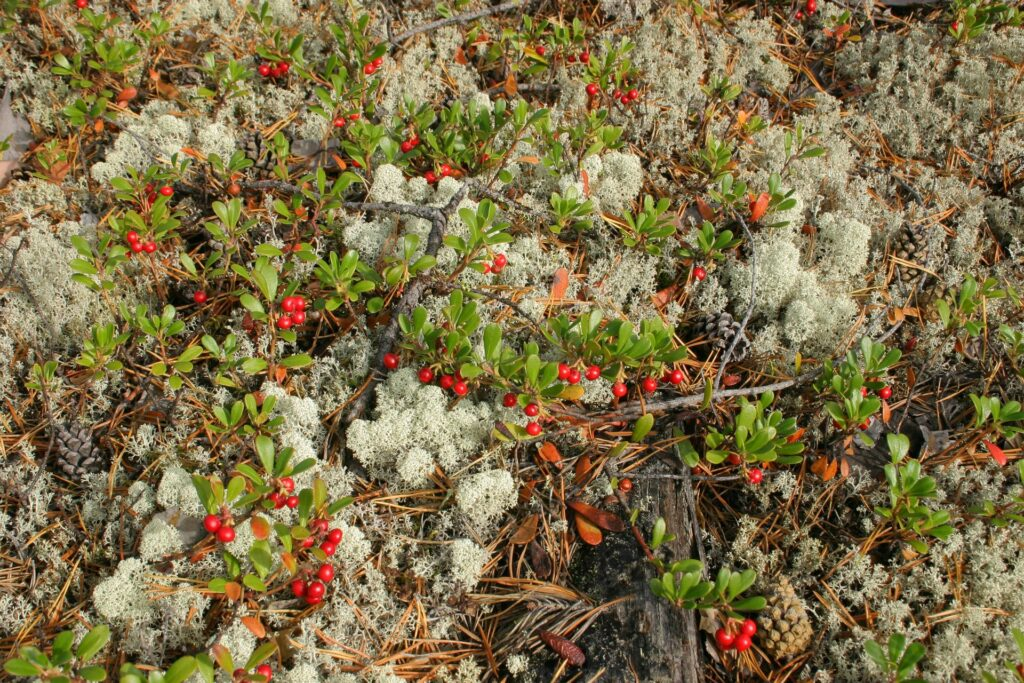 lichens, berries and pinecone in the siberian Taiga