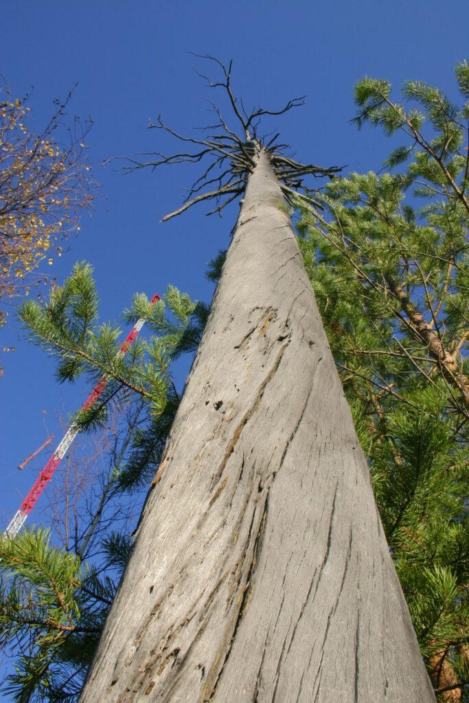 big winding dead tree next to tower in front of blue sky