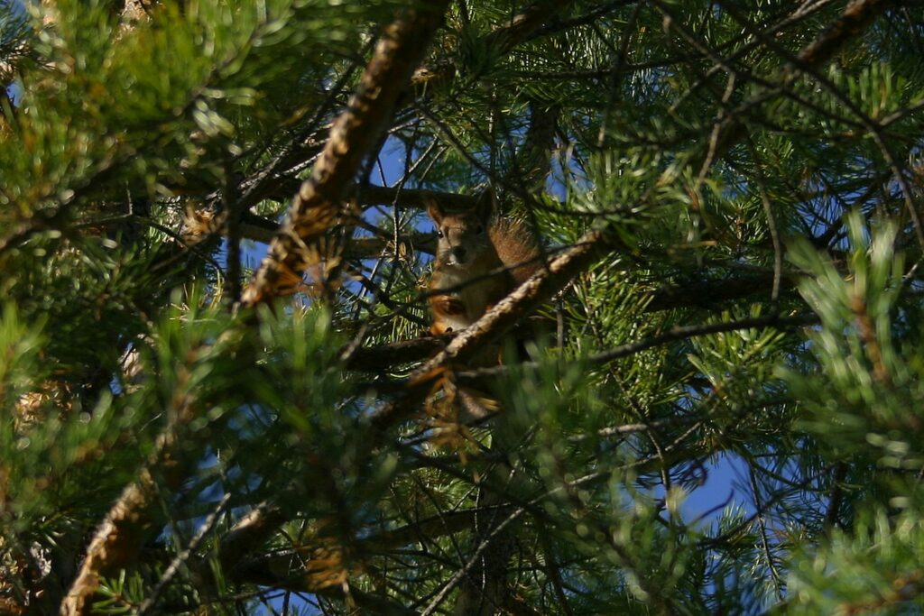 red squirrel sitting in a pinus tree-Taiga