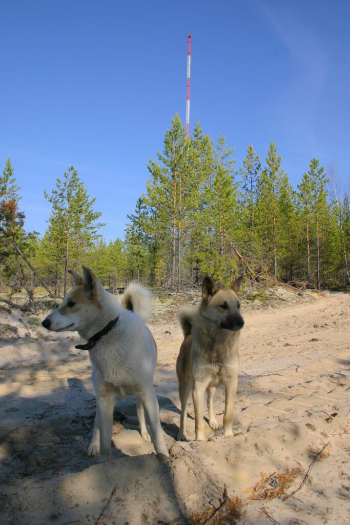 two yellow dogs in front of the far away tall tower in Siberia