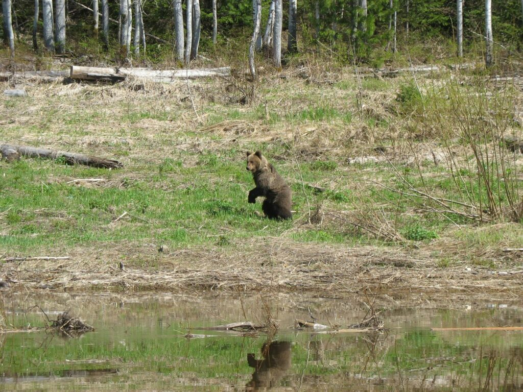 bear at the river Yenisei